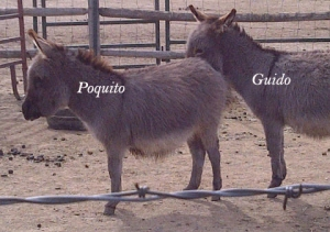 Poquito Guido